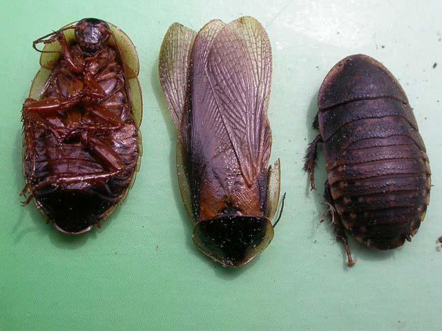 column-cees-grote-kakkerlak