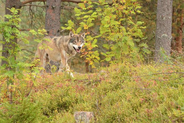 column-cees-wolf-ap