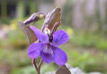 column-cees-maarts-viooltje